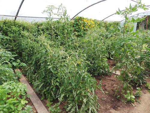 les tomates dans la serre