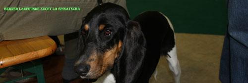 Unsere Freunde aus den Bergen / Züchter     La Spinatscha / Berner-Laufhunde