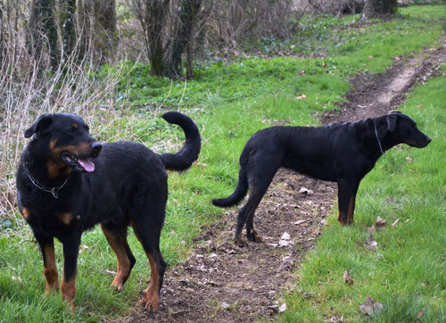 Beaucerons adultes