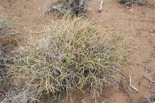 Arbusto venenoso