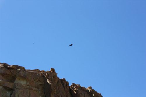 Nos sobrevuela un águila mora.