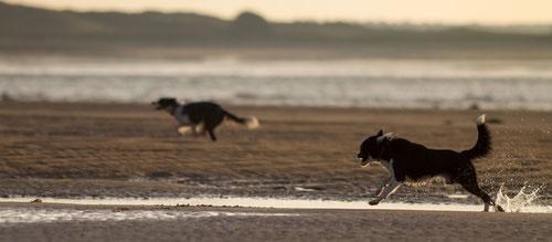 Zwei Border Collies rennen am Strand von Saint-Germain-sur-Ay