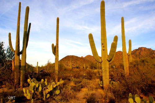© Steven. Saguaro National Park, Arizona. The largest cacti I have ever seen. These are way larger than humans. Impressive sight. Dec 2010.