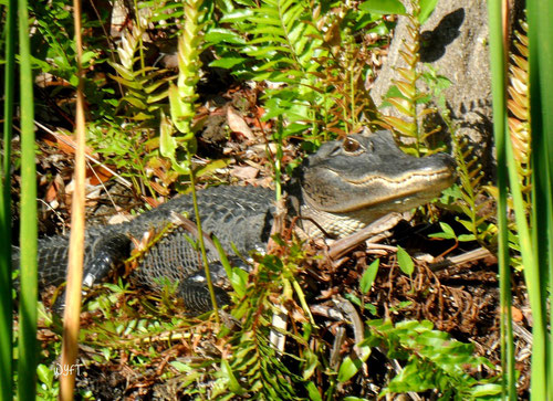 © Winifred. Mr Alligator saying hello from Everglades National Park, Florida. April 2011.