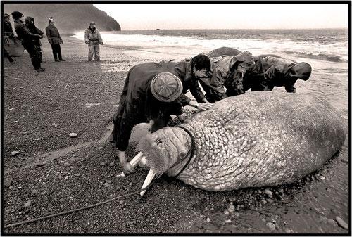 Поймали моржа...