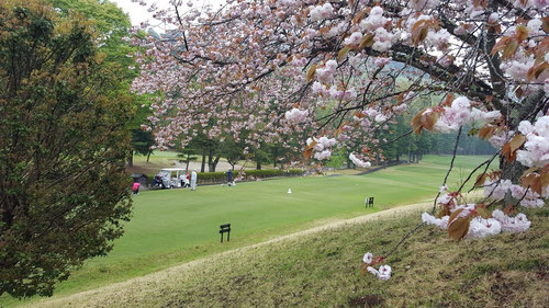 八重桜でお花見ゴルフをどうぞ!!
