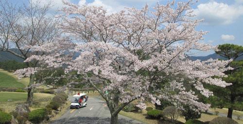 足利カントリークラブのハウス前の桜