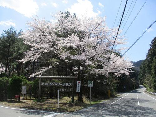 足利カントリークラブ入口の桜