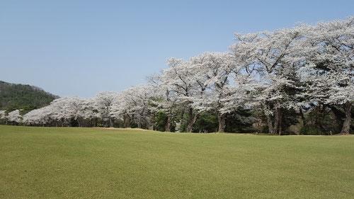 唐沢ゴルフ倶楽部唐沢コースの名物の桜