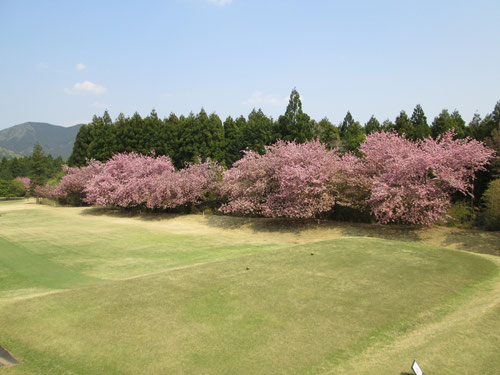 足利カントリークラブの八重桜