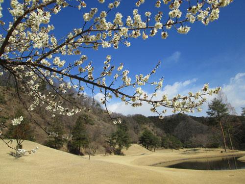 足利城ゴルフ倶楽部で梅を見る