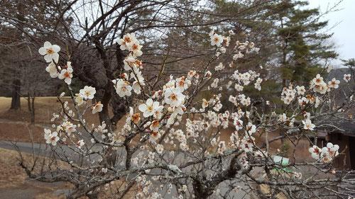 唐沢ゴルフ倶楽部の梅の花
