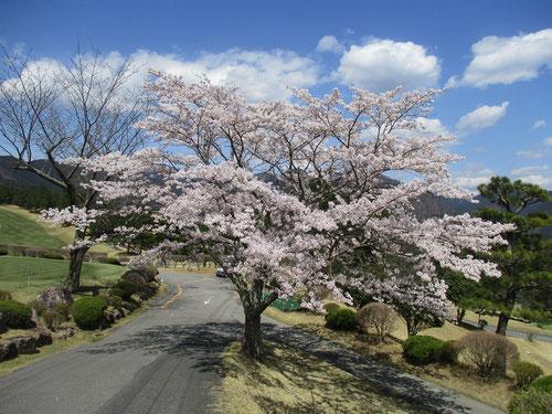足利カントリークラブ多幸コースの満開の桜