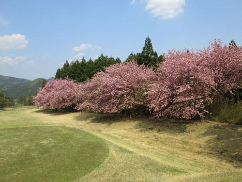 足利カントリークラブ多幸コース3番ホールの八重桜