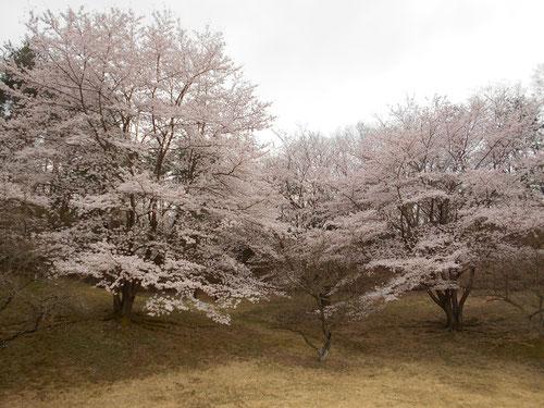 足利城ゴルフ倶楽部の満開の桜