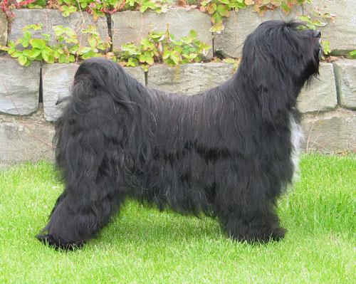 Tibet Terrier Peter Künzel Oelde