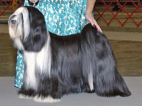 Adominos ToJo´s Apeel at DW_Peter Künzel_Oelde_Michael Vogt_Dortmund_Tibet Terrier