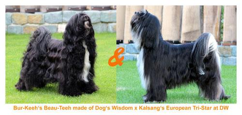 Welpen_Tibet Terrier_Oelde_Sommer_NRW_Peter Künzel_Oelde_FCI_VDH_KTR