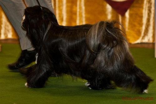 Peter Künzel Tibet Terrier Oelde