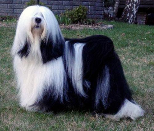 Peter Künzel_Tibet Terrier_Oelde_Anke Peine