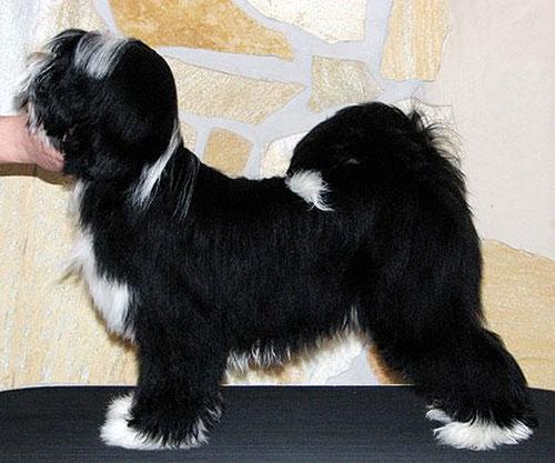Peter Künzel_Adominos ToJo´s Apeel at DW_Max_Tibet Terrier_Oelde_Anke Peine_KTR