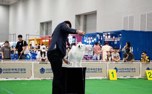 японский шпиц москва купить