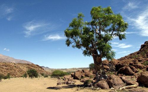 Moringa Baum in Afrika