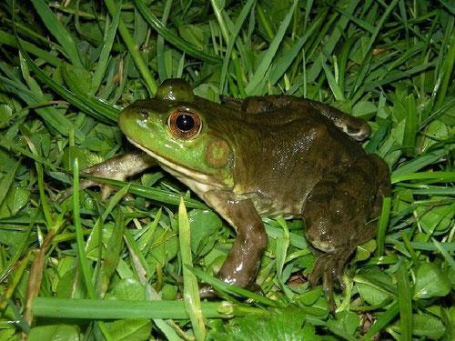 American Bull Frog (Lithobates catesbeianus), Grote Nete, Belgium, June 2011