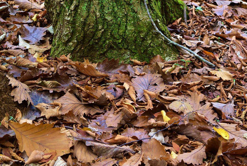 Japanese oak
