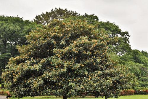 枇杷の木,びわ,高さ,大きさ
