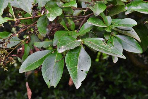 オオバイボタの木