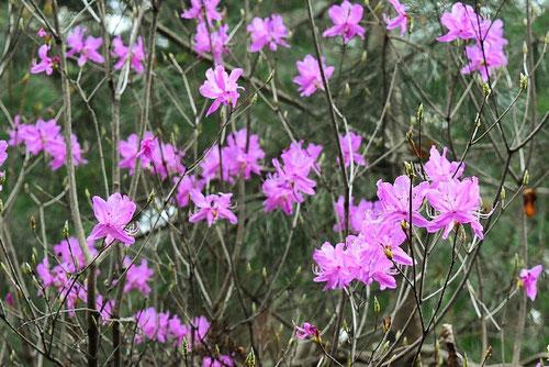 とうごくみつばつつじ,開花,種類,木