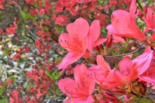 山躑躅 花 画像