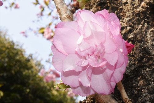 松前桜,おおやまざくら