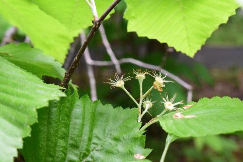 裏白の木 花