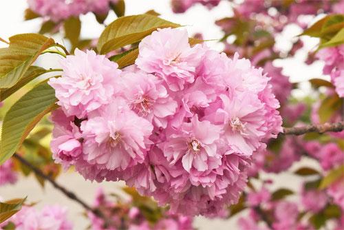 関山,八重桜,里桜