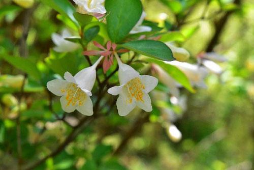 ツクバネウツギ,開花時期