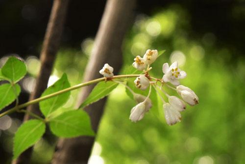 コメゴメの木の花