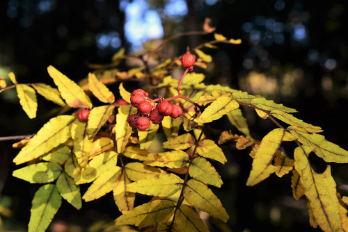 サンショウの木,特徴