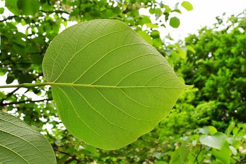 Fragrant snowbell,leaf