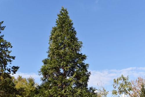 あすなろの木,特徴