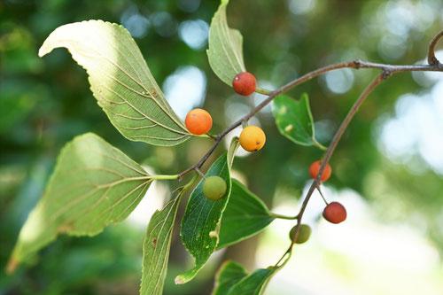 榎の果実,えのき