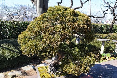 bonsai,sinnpaku