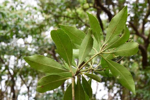 アセビの葉,あせび,特徴