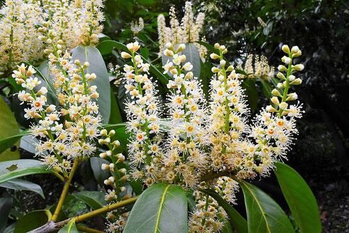 西洋博打の木の花