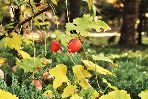 オレンジ色の実,植物