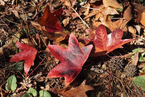 フウの木,紅葉