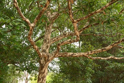 鹿子の木,樹皮