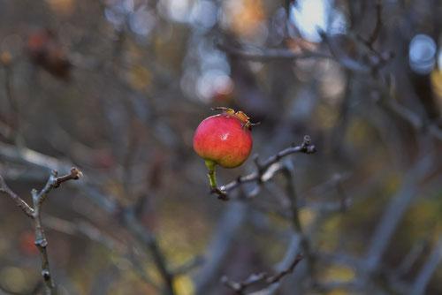 Hawthorn,fruits