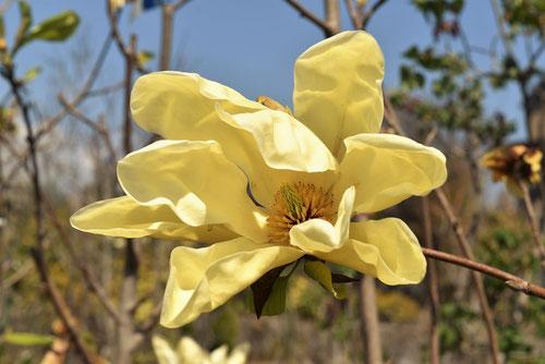黄色い花が咲くモクレンの木
